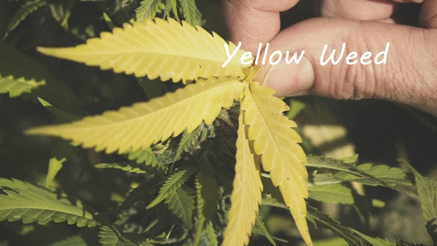 yellow weed