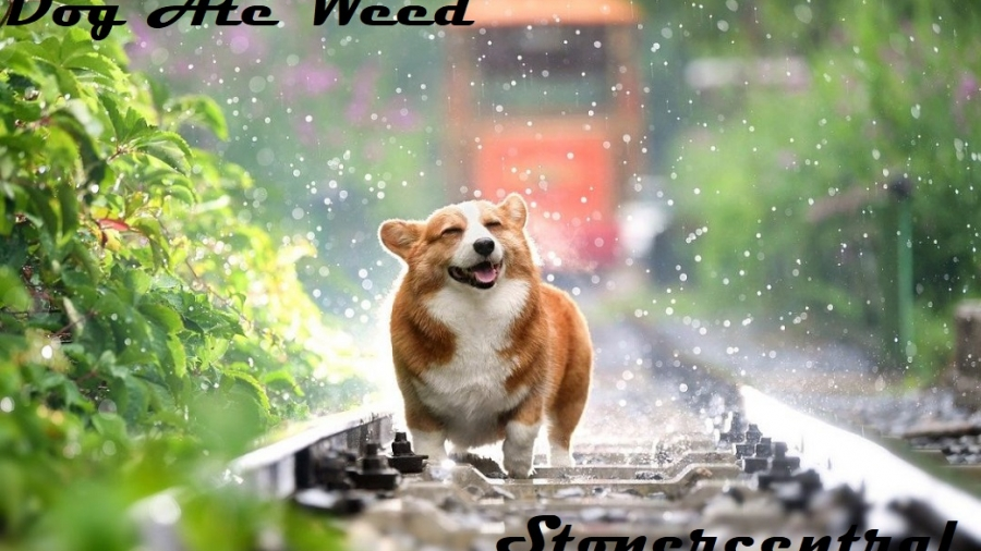 dog ate weed
