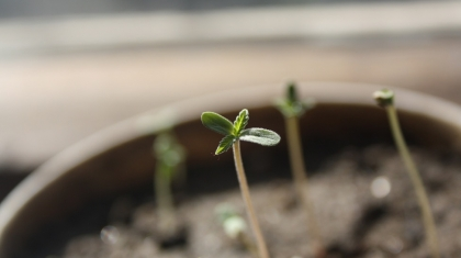 growing weed from seed