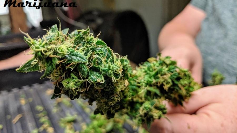 when to harvest marijuana