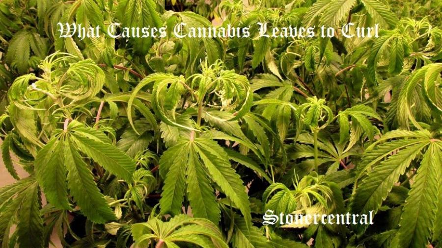 cannabis-leaves-curling-down-1024x768
