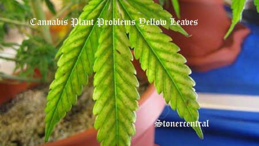 cannabis-magnesium-deficiency-med1