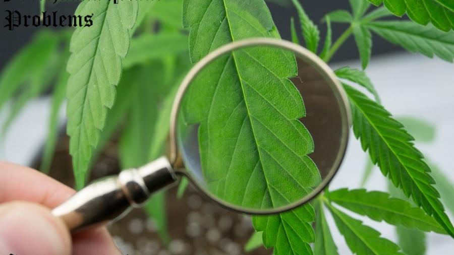 marijuana plant problems