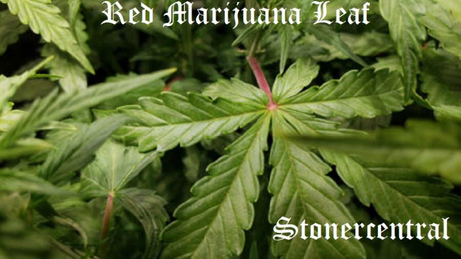 red-stems-may-be-first-sign-of-marijuana-phosphorus-deficiency-450x338