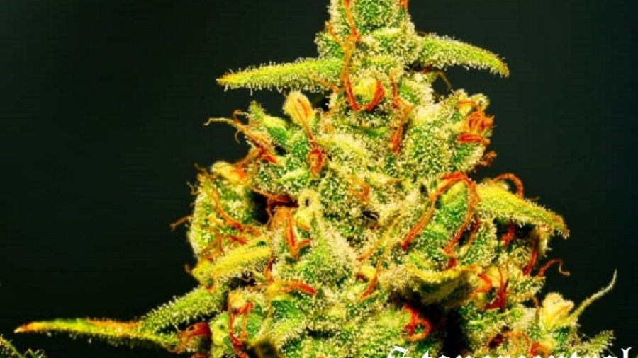 strongest_weed_2-768x586