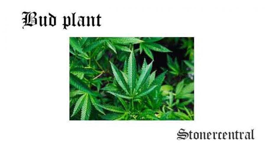 bud plant