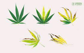 cannabis ph problems