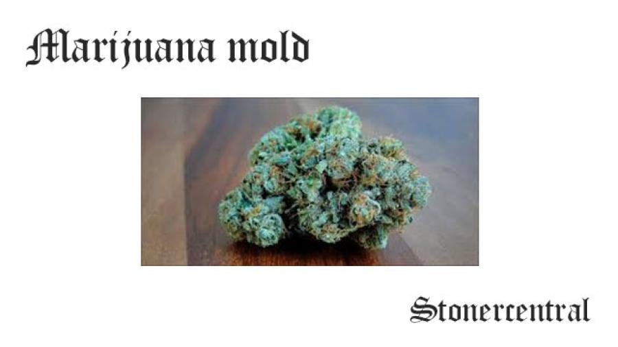 marijuana mold