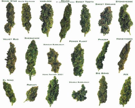 best marijuana strains